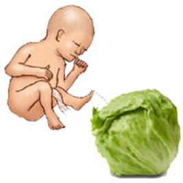 baby cabbage